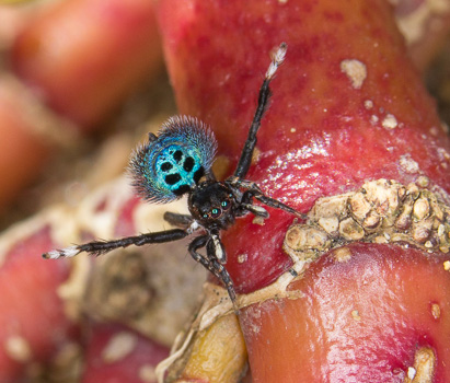 Black Spotted Peacock Spider