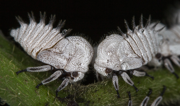 Membracid Treehoppers (nymphs)