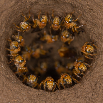 Stingless Hair-Cutter Bees