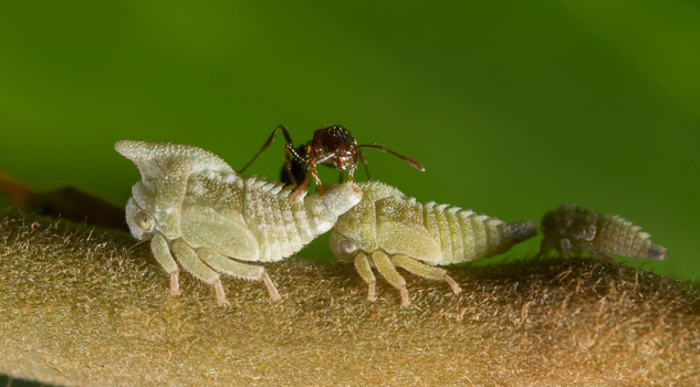 Symbiotic Treehoppers with Ant